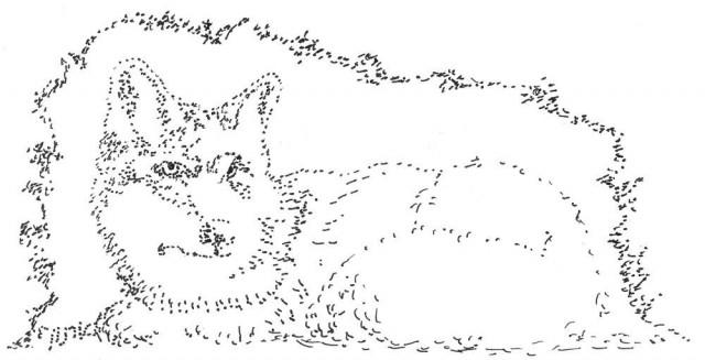 זאב ערבות